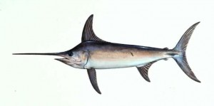 Atlantic Swordfish