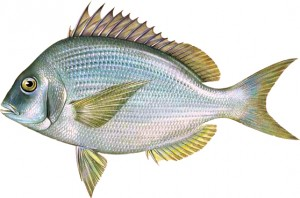 Scup or Porgy