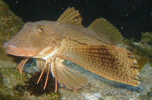 Striped Sea Robin