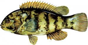 Tautog or Blackfish