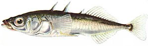 Threespine Stickleback